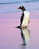 Gentoo Penguin in pink sunset.jpg