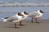 Brown-hooded Gulls.jpg