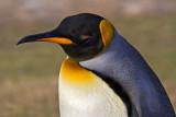 King Penguin Portrait.jpg