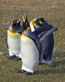 King Penguins in grass.jpg