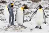 King Penguins on sand.jpg