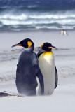 King Penguins in Sandstorm 1.jpg
