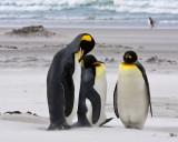 King Penguins in sandstorm 2.jpg