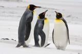 King Penguins in sandstorm 3.jpg