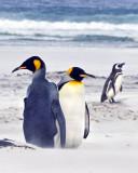 King Penguins and Magellanic in sandstorm.jpg