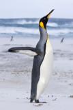 King Penguin lifting up in sandstorm.jpg