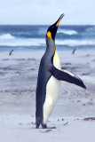 King Penguin calling in sandstone.jpg