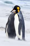 King Penguin cuddle in sandstorm 2.jpg