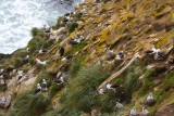Black-browed Albatross rookery at Neck.jpg