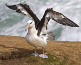 Black-browed Albatross spreading wings.jpg