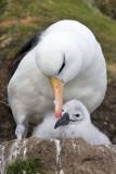 Black-browed Albatross preening chick.jpg
