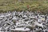 Black-browed Albatross and Rockhopper Penguin rookery on West Point.jpg