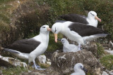 Black-browed Albatross family.jpg