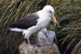 Black browed Albatross and Chick.jpg