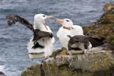 Black-browed Albatross rivalry on cliff.jpg