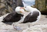 Albatross Love 1.jpg