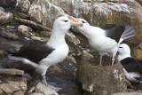 Black-browed Albatross Love 2.jpg