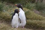 Rockhopper penguins in tussoc grass on West Point.jpg