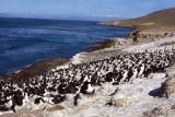 Imperial Shag rookery on Carcass Island.jpg