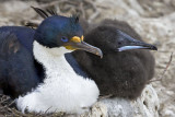 Imperial Shag and chick.jpg