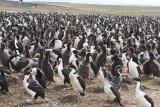 Imperial Shag rookery on Bleaker Island.jpg