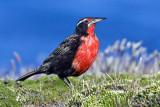 Long-tailed Meadowlark.jpg