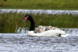 Black-necked Swan and cignets on back.jpg