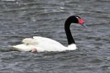 Black-necked Swan on ocean.jpg