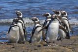 Magellanic Penguins on rocks.jpg