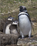Magellanic Penguin and chicks.jpg