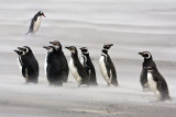 Magellanic penguins and juveniles in sandstorm 2.jpg