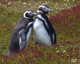 Magellanic penguin pair in red grass.jpg