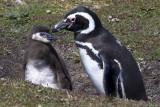 Magellanic penguin and chick.jpg