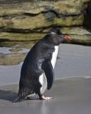 Rockhopper Penguin.jpg