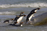 Rockhopper penguins coming up on rock.jpg