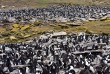 Rockhopper and Imperial Cormorant rookery.jpg