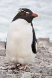 Rockhopper penguin on cliff.jpg