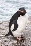 Rockhopper penguin on cliff 3.jpg
