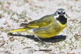 Black- throated Finch.jpg