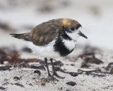 Two-banded Plover portrait.jpg