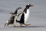 Gentoo baby chasing mom.jpg