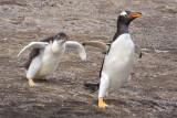 Baby Gentoo chasing mom.jpg