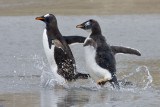 Baby Gentoo chases mom into water.jpg