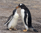 Gentoo and baby.jpg