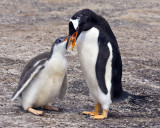 Gentoo feeding chick.jpg