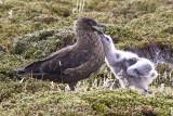 Falkland Skua and chick.jpg