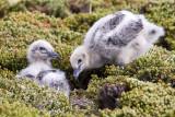 Falkland Sku chicks.jpg
