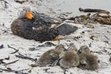 Flightless Steamer Duck and ducklings.jpg