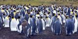 King Penguin rookery at Volunteer Point.jpg