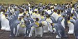 King Penguin rookery 2.jpg